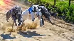 greyhounds Imagens de Stock