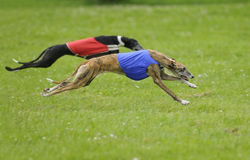 Greyhounds coursing. Two greyhounds lure coursing in the final championships Stock Image