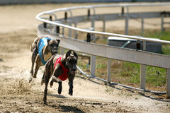 Greyhounds full speed running at race track Royalty Free Stock Image