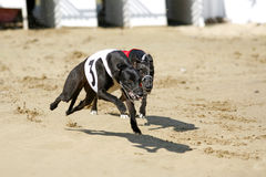 Greyhounds full speed running at race track Stock Photo