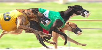 Greyhounds Sprint Down The Race Course In A Very Close Dog Race Stock Image