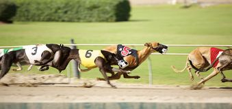 Greyhounds sprint down the track in a tight race. Greyhounds dogs engaged in a dog race at a very prominent and established racetrack located in West Memphis Royalty Free Stock Photography
