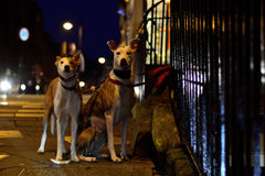Greyhounds tied to iron railings at night Royalty Free Stock Photo