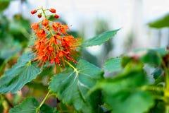 Greyia sutherlandii或新生洗瓶刷 免版税图库摄影