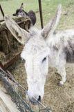 Greyish donkey Royalty Free Stock Photo