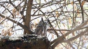 Greyish eagle-owl blinking eyes. Greyish Eagle-owl, Bubo cinerascens, perches on dry tree branch at Wabe Shabelle near Lake Langano, Ethiopia, Africa stock footage