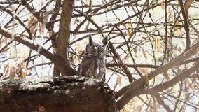 Greyish eagle-owl on branch. Greyish eagle-owl, bubo cinerascens, perches on dry tree branch at Wabe Shabelle near Lake Langano, Ethiopia, Africa stock video