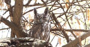 Greyish eagle-owl on dry tree branch. Greyish eagle-owl, bubo cinerascens, perches on dry tree branch at wabe shabelle near lake Langano, Ethiopia, Africa stock video footage