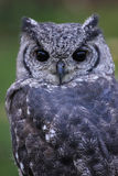 Greyish Eagle Owl or Vermiculated Eagle owl. Greyish Eagle-Owl or Vermiculated Eagle-owl (Bubo cinerascens Stock Image