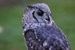 Greyish Eagle Owl or Vermiculated Eagle owl. Greyish Eagle-Owl or Vermiculated Eagle-owl (Bubo cinerascens Stock Photography