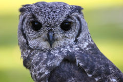 Greyish Eagle Owl or Vermiculated Eagle owl. Greyish Eagle-Owl or Vermiculated Eagle-owl (Bubo cinerascens Royalty Free Stock Photos