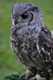 Greyish Eagle Owl or Vermiculated Eagle owl. Greyish Eagle-Owl or Vermiculated Eagle-owl (Bubo cinerascens Royalty Free Stock Image