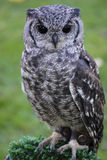 Greyish Eagle Owl or Vermiculated Eagle owl. Greyish Eagle-Owl or Vermiculated Eagle-owl (Bubo cinerascens Royalty Free Stock Images