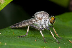 A greyish robber fly with dewdrops. Macro shot of a greyish robber fly with dewdrops Royalty Free Stock Photo