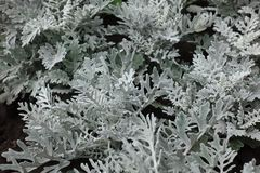 Greyish white pinnate leaves of dusty miller Royalty Free Stock Images
