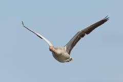 greylag гусыни полета Стоковые Изображения