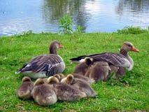 greylag гусыни семьи Стоковые Изображения