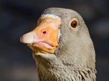 greylag гусыни Стоковая Фотография