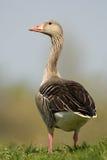 greylag гусыни Стоковое Изображение