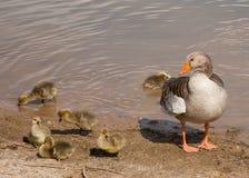 greylag семьи Стоковая Фотография RF