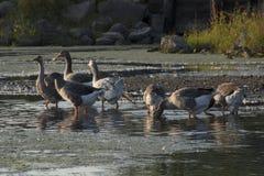 Greylag de Waadvogels van Ganzen royalty-vrije stock afbeelding