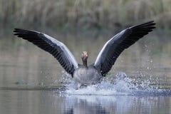 Greylag gans Anser anser royalty-vrije stock foto's