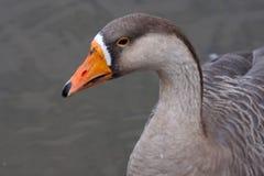 Greylag Gans (Anser anser anser) Royalty-vrije Stock Afbeeldingen
