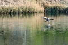 Greylag gans die anser anser in land op water met uitgestrekte voeten komen met zwemvliezen stock afbeelding