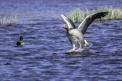 Greylag gans die op water landen Stock Afbeeldingen