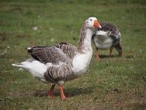 Greylag Gans in Nieuw Zeeland Royalty-vrije Stock Afbeelding