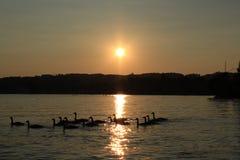 Greylag Gans in zonsondergang Royalty-vrije Stock Foto