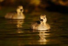 Greylag Gansjes op Water Royalty-vrije Stock Afbeeldingen