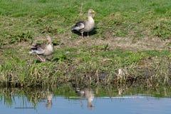 Greylag ganzen anser anser op rivierbank in de vroege lente stock foto's