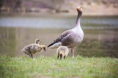 Greylag ganzen en zijn jongelui Stock Afbeeldingen