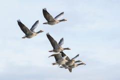 Greylag ganzen tijdens de vlucht stock afbeeldingen