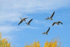 Greylag ganzen tijdens de vlucht stock foto's