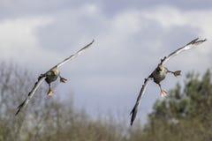 Greylag ganzen tijdens de vlucht Stock Afbeelding