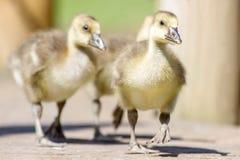 Greylag ganzengansjes anser anser in de zomerzonneschijn Royalty-vrije Stock Afbeelding