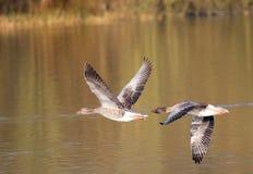 Greylag ganzenpaar die samen vliegen royalty-vrije stock foto's