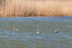 Greylag gees Royalty Free Stock Images