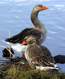 Greylag Geese Royalty Free Stock Photography