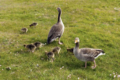Greylag Geese Stock Photo