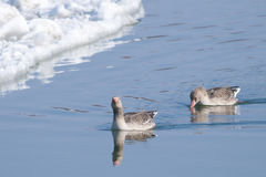 Greylag Geese Stock Images