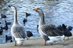 The Greylag geese and American Coots Royalty Free Stock Image