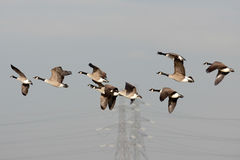Greylag Geese (anser anser) Royalty Free Stock Photography