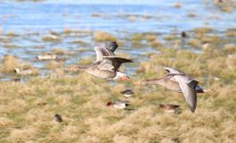 Greylag Geese (Anser anser). Pair of Greylag Geese in flight against a background of other water birds Royalty Free Stock Photography