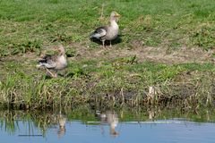 Greylag geese anser anser on river bank in early spring stock photos