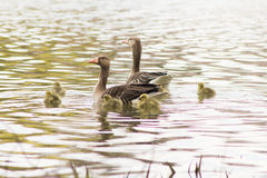 Greylag Geese (Anser Anser) with their offspring in Germany. Greylag Goose (Anser Anser) on the sea in Goettingen, Germany Royalty Free Stock Photography