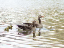 Greylag Geese (Anser Anser) with their offspring in Germany Stock Photo