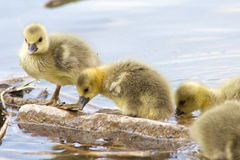 Greylag Geese (Anser Anser) with their offspring in Germany Royalty Free Stock Images